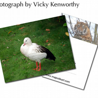Goose ACEO Print Photography by VK