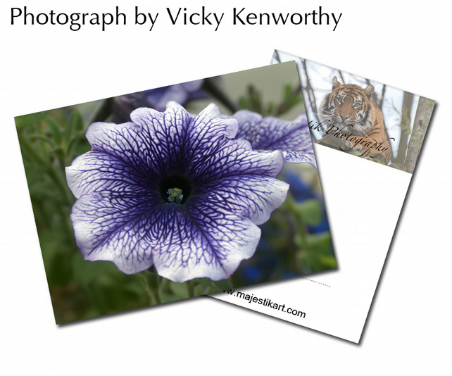 Petunia ACEO Print Photography by VK