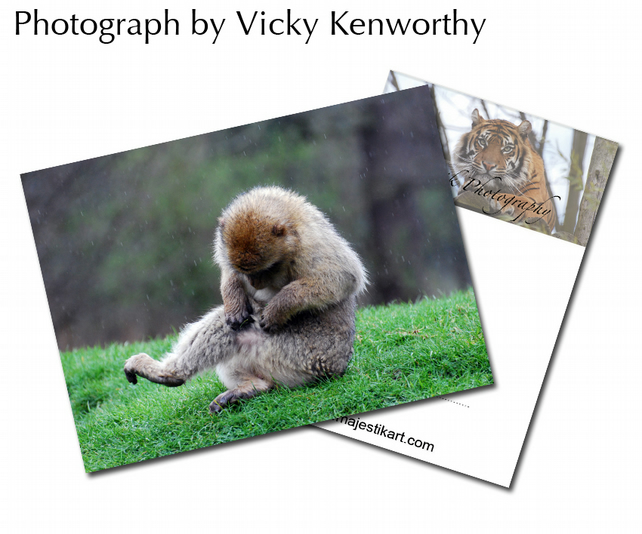 Barbary Macaque ACEO Print Photography by VK