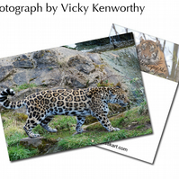 Jaguar ACEO Print Photography by VK