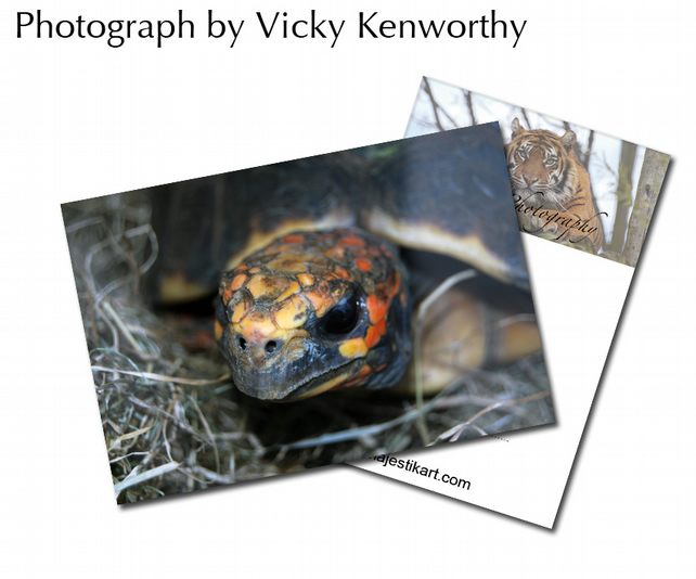 Tortoise ACEO Print Photography by VK