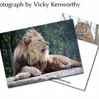Lion ACEO Print Photography by VK