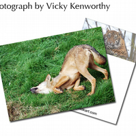 Iberian Wolf ACEO Print Photography by VK