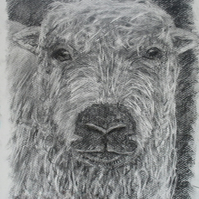 Sheep I - print from original animal drawing