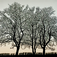 The Last to Leaf, The First to Fall, ash trees in the English countryside