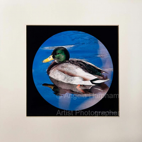 Fine Art Photograph Spring Duck