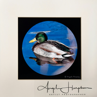 Fine Art Photo Duck on River Don Sheffield