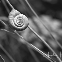 Photograph Normandy Snail Monochrome