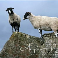 Photo Two Sheep A3 Fine Art