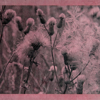 Knapweed Thistledown Photograph on Textured Paper