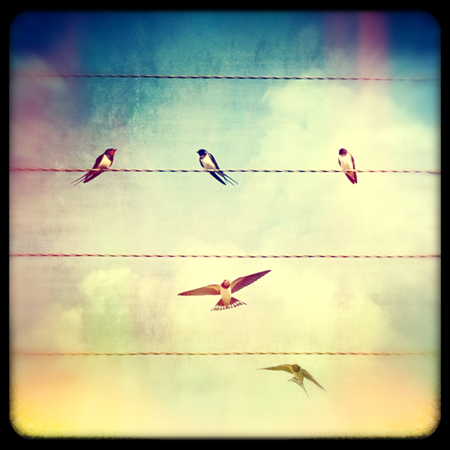 Swallows on wires  Giclée Print