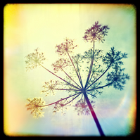 Cow parsley  Giclée Print