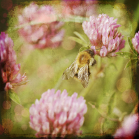 'Bee In Clover' Giclée print