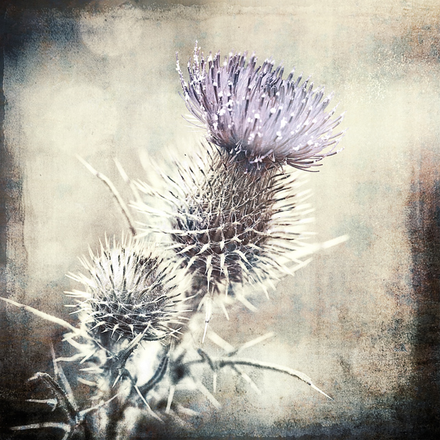 Scottish thistle Giclée Print