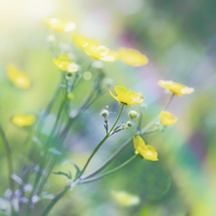 Buttercups with Rainbow Giclée Print