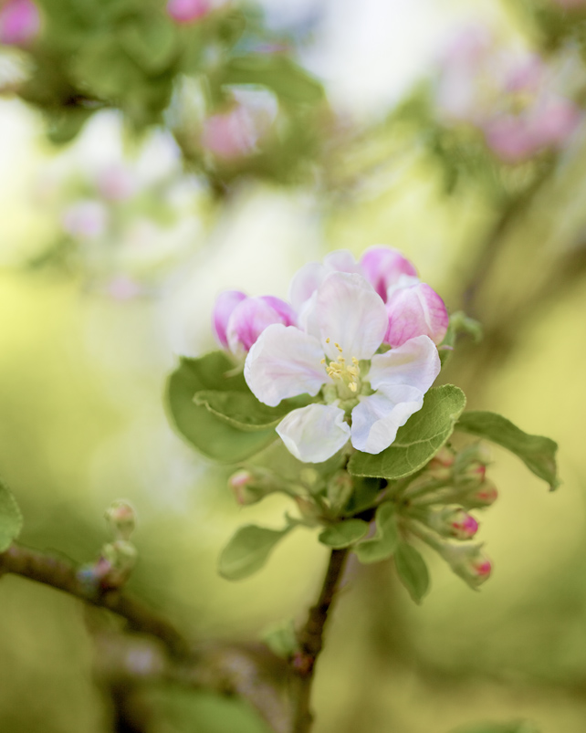 Apple Tree Blossom giclée print