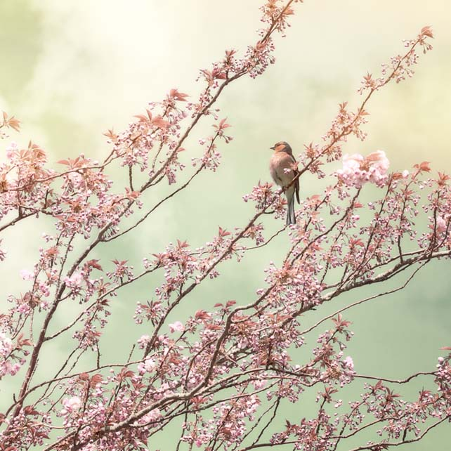 'Bird with Cherry Blossom' Giclée print