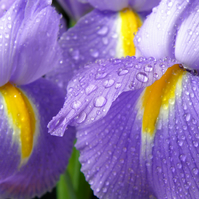 'Iris with raindrops' Giclée Print