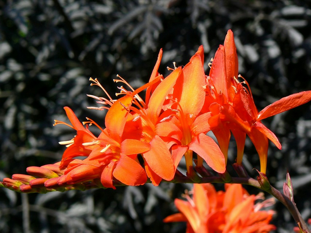 A5 Card - Crocosmia