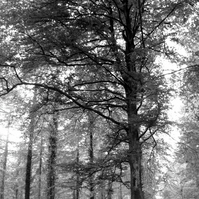 Through the Trees B & W