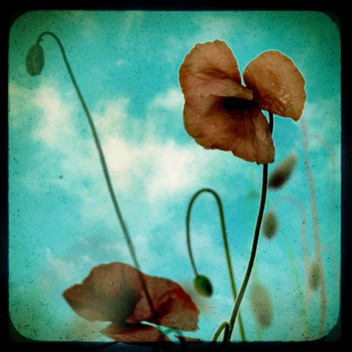Lie back and think of Poppies - 6X6 Inch Photograph