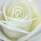White Rose - Original Oil Painting, small