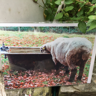 Bath Time for the Sheep - Blank Greetings Card