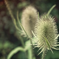 Teasels in the Sun, a Fine Art Photographic Print