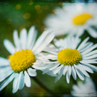 Daisies - Photographic A4 Print in an Ivory Mount