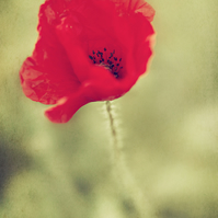 Beautiful Poppy - Photographic A4 Print in a double mount