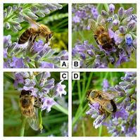 "'Honey bee on lavender' - 5"" x 5"" colour print"
