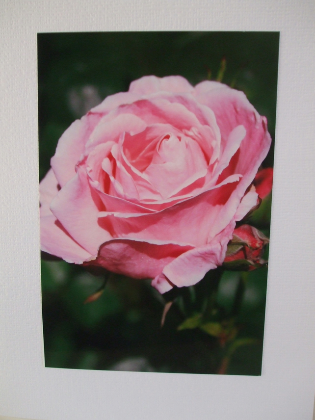 Photographic card of a pink rose in Chegwyn Charity Gardens.