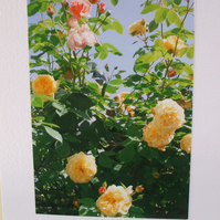 Photographic card of roses in Chegwyn Charity Gardens.