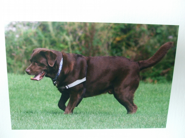 Greetings card  with a photograph of a chocolate labrador panting.