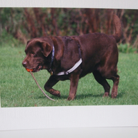 Greetings card with a photograph of a chocolate labrador .