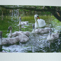 Photographic greetings card of a Swan with her Cygnets.