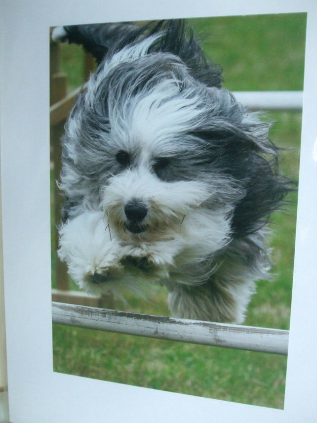 Photographic greetings card of a Bearded Collie dog.