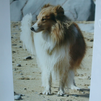 Photographic greetings card of a Sheltie dog on a beach.