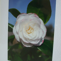 Photographic greetings card of a white Camelia flower
