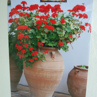 Photographic greetings card of red Geraniums in a terracotta urn.