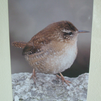 Photographic greetings card of a Wren.