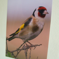 Photographic greetings card of a Goldfinch.