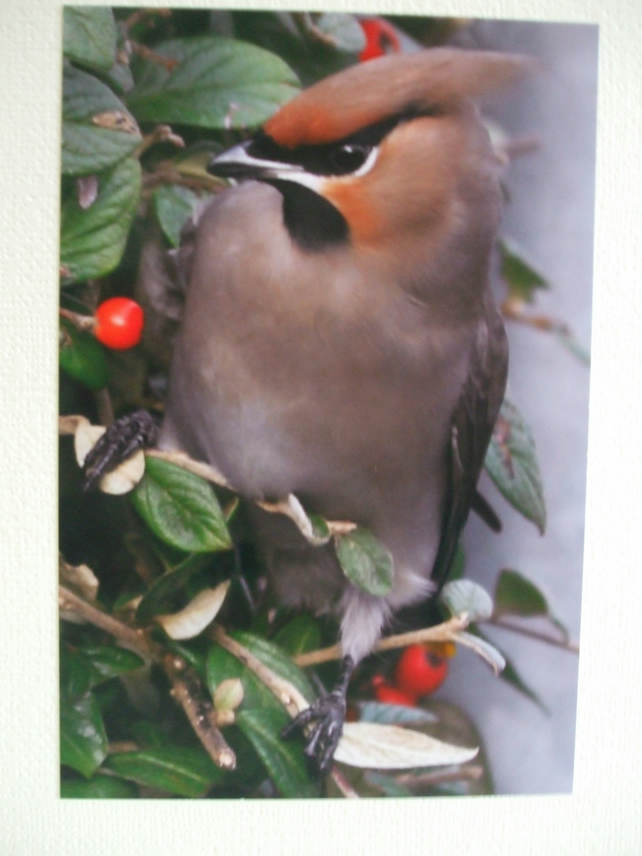 Photographic greetings card of a Waxwing.