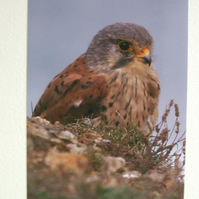 Photographic greetings card of a Kestrel.