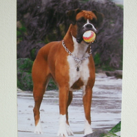 Photographic greetings card of a Boxer dog.