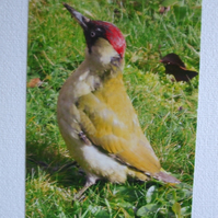 Photographic card of a Green Woodpecker.