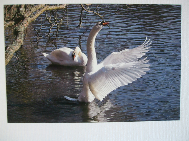 Photographic greetings card of a Swan, with wings spread.