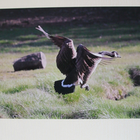 Photographic greetings card of a Canada goose, wings closing .