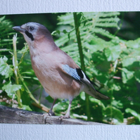 Photographic greetings card of a Jay