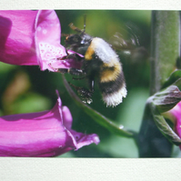 Photographic greetings card of a Bumble Bee taking nectar from Foxgloves.